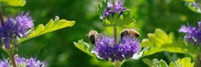 Honeybeesoncaryopteris Banner